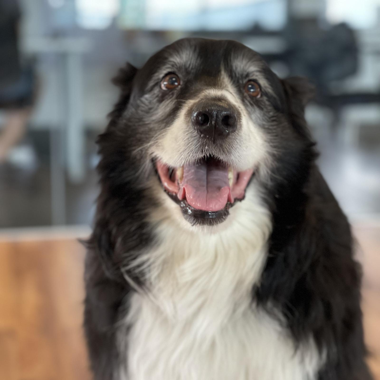 Distanciation sociale non obligatoire avec le chien de Charles Cantin à notre bureau de Québec 🐶